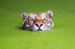 丹麦动物园老虎水藻中游泳 模样滑稽